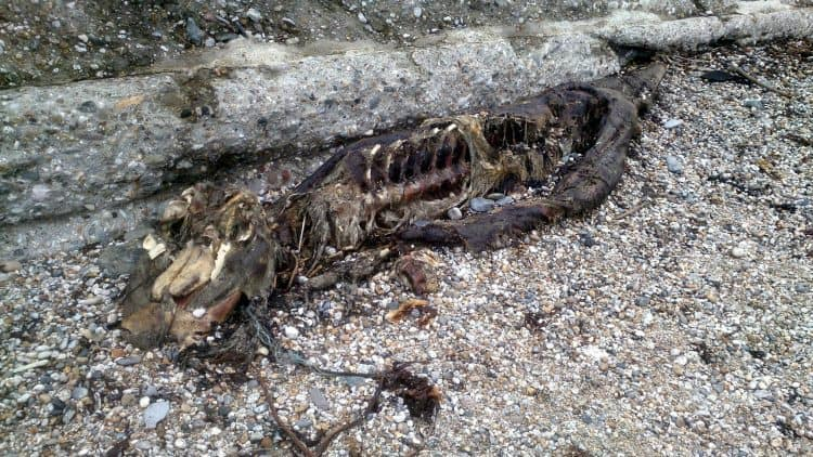 8 foot serpent-like carcass washed up on Charleston Beach by man from St Austell