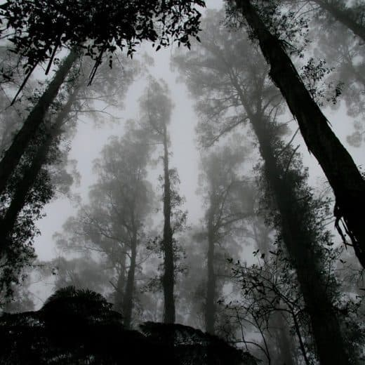 Trees in the forest surrounded by mist