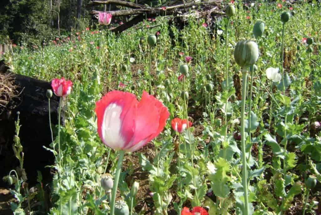 Myanmar's poppy fields used to make drugs