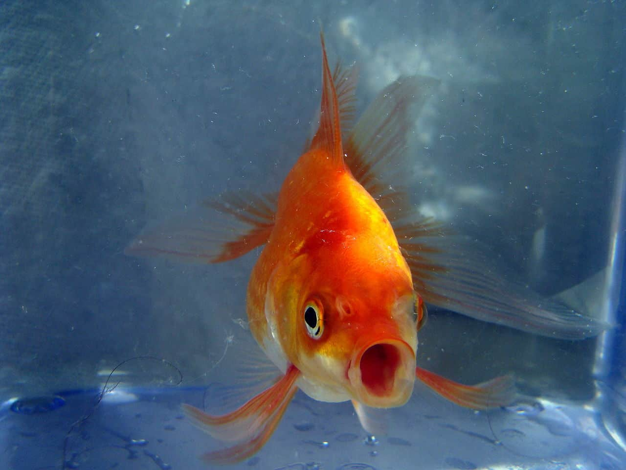 Goldfish with open mouth