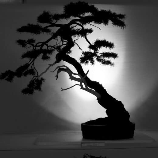 A black and white image of a Bonsai tree