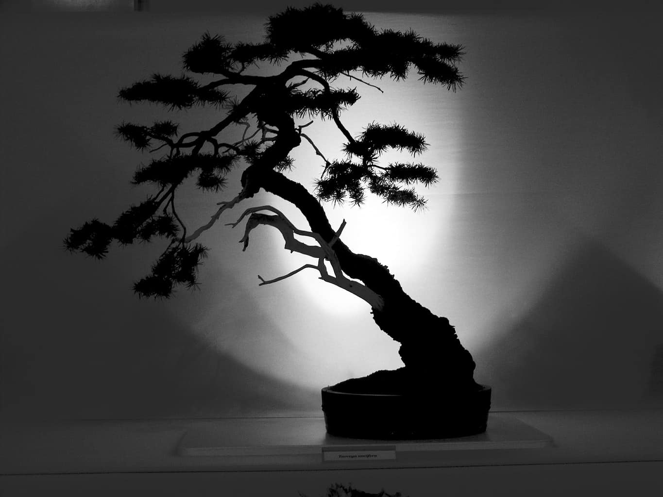 A black and white image of a Bonsai tree