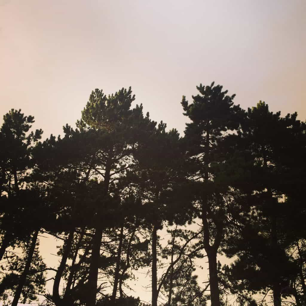 An image of some woodland trees as seen from ground level