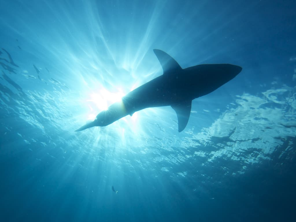 Great White shark shot from underneath